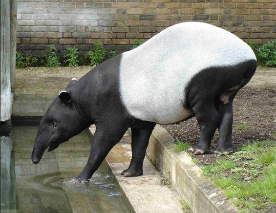 tapirbad